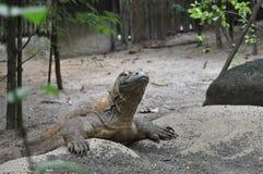 Dragón de Komodo Foto de archivo libre de regalías