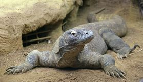 Dragón de Komodo 5 Foto de archivo