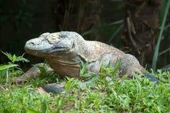 Dragón de Komodo imagen de archivo libre de regalías