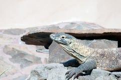 Dragón de Komodo Fotos de archivo libres de regalías
