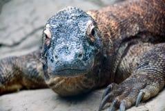 Dragón de Komodo Imágenes de archivo libres de regalías