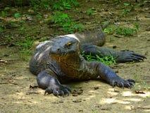 Dragón de Komodo con saliva Fotografía de archivo libre de regalías