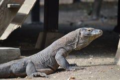 Dragón de Komodo del bebé Imagen de archivo