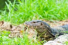 Dragón de Komodo, el lagarto más grande del parque Imagen de archivo libre de regalías