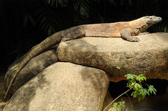 Dragón de Komodo en el parque zoológico de Singapur. Foto de archivo libre de regalías