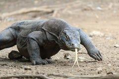 Dragón de Komodo en el salvaje Foto de archivo