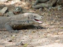 Dragón de Komodo en la isla de Komodo Fotos de archivo