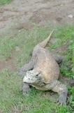 Dragón de Komodo o komodoensis del Varanus Foto de archivo