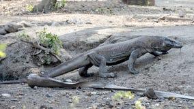 Dragón de Komodo, parque nacional de Komodo, sitio del patrimonio mundial fotografía de archivo libre de regalías