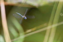 Dragón de la En-Su-cara Foto de archivo libre de regalías