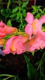 Dragón de las rosas fuertes Imagen de archivo