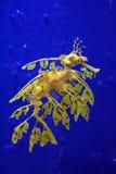 Dragón del mar Fotografía de archivo