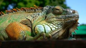 Dragón el dormir Retrato del primer de descansar el lagarto vibrante Foco selectivo Natural verde de la iguana a las áreas tropic metrajes