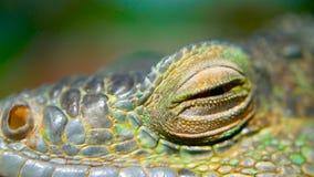 Dragón el dormir Retrato del primer de descansar el lagarto vibrante Foco selectivo Natural verde de la iguana a las áreas tropic almacen de metraje de vídeo
