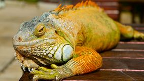 Dragón el dormir Retrato del primer de descansar el lagarto vibrante Foco selectivo Natural verde de la iguana a las áreas tropic almacen de video