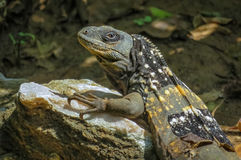 Dragón exótico del lagarto que se relaja en el sol en una roca Foto de archivo