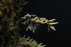 Dragón frondoso del mar Fotografía de archivo
