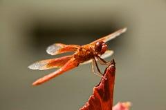 Dragón rojo Imagen de archivo libre de regalías
