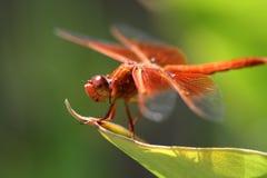 Dragón rojo encaramado Fotos de archivo libres de regalías
