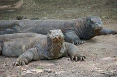 Dragões de Komodo Fotografia de Stock