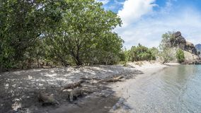Dragões de Komodo em uma praia Fotografia de Stock Royalty Free