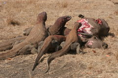 Dragões de Komodo que comem o búfalo selvagem Fotografia de Stock