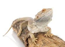 Dragões farpados Fotografia de Stock