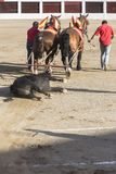 Drag mules are Bull died in the Bullfight to the slaughterhouse Royalty Free Stock Image