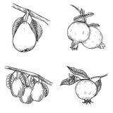 Dragen granatäpplehand royaltyfri illustrationer