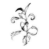 Dragen hand för aloeVera växt inrista illustrationen på vit bakgrund Arkivfoto