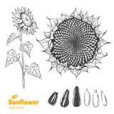 Dragen illustration för solros hand Royaltyfri Foto