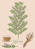 Dragen illustration för vektor hand av glycyrrhizaväxten Fotografering för Bildbyråer