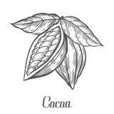 Dragen kakaohand Illustration för kakaobotanikvektor Klotter av sund närande mat Arkivbilder