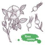 Dragen Rosa caninahand Royaltyfri Bild