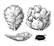 Dragen uppsättning för grönsallat hand Grönsak inristad stilillustra vektor illustrationer