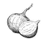 Dragen vektorillustration för lök hand Isolerat grönsak inristat stilobjekt royaltyfri illustrationer