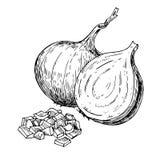 Dragen vektorillustration för lök hand Isolerat grönsak inristat stilobjekt stock illustrationer