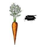 Dragen vektorillustration för morot hand Grönsak isolerat objekt Detaljerad vegetarisk mat royaltyfri illustrationer