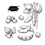 Dragen vektorillustration för sojaböna hand Isolerat grönsak inristat stilobjekt royaltyfri illustrationer