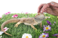 Dragões farpados Imagem de Stock