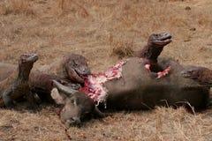 Draghi di Komodo che mangiano bufalo selvaggio Immagini Stock Libere da Diritti