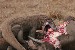 Draghi di Komodo che mangiano bufalo selvaggio Fotografia Stock Libera da Diritti