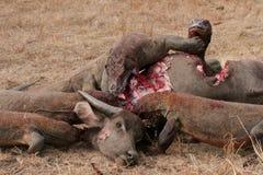 Draghi di Komodo che mangiano bufalo selvaggio Fotografia Stock