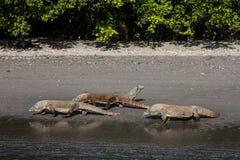 Draghi di Komodo sulla spiaggia Fotografia Stock
