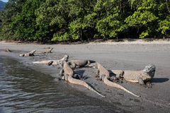 Draghi di Komodo sulla spiaggia a distanza fotografia stock libera da diritti