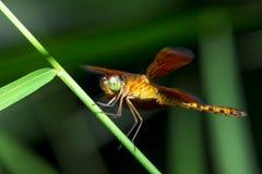 Draginfly rosso Fotografia Stock Libera da Diritti