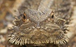Dragón barbudo central Foto de archivo libre de regalías