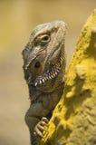 Drago barbuto centrale su una roccia Fotografia Stock Libera da Diritti