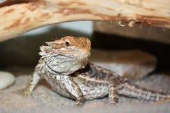 Drago barbuto (vitticeps di Pogona) Fotografie Stock