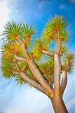Drago-Baum in Orotava, Teneriffa, Spanien. stockfotos